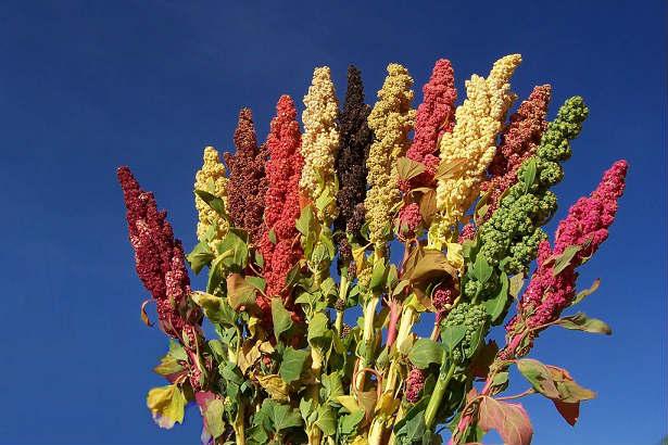 Quinoa, fă-o parte din rutina ta